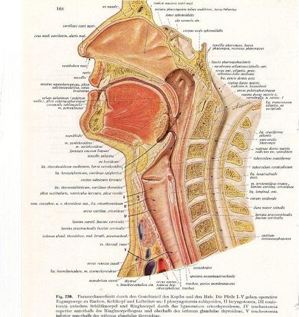 functie mondholte